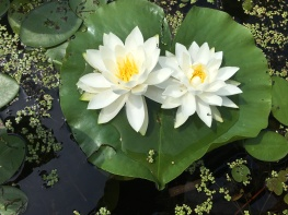 photo of heart shaped lily pad with two flowers